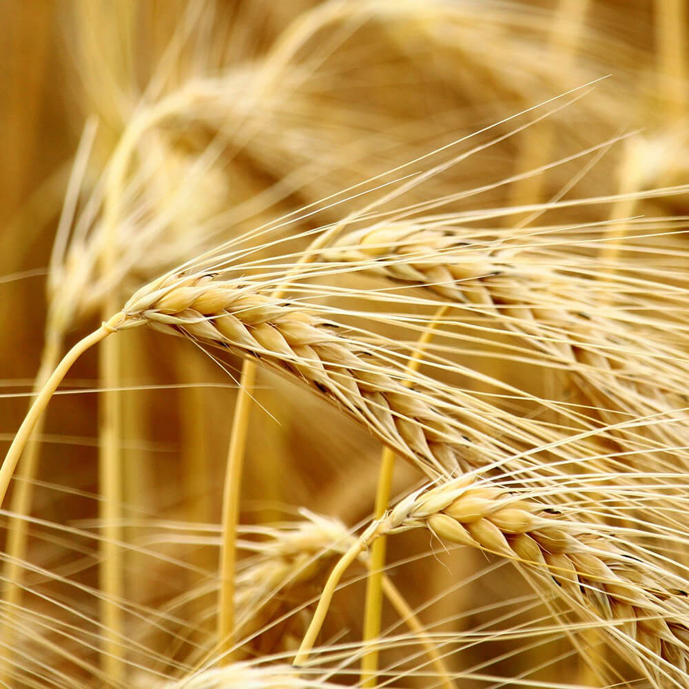 cereals-2590965_1920 (1)